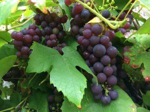 IMG 9431 300x225 - Druiven uit eigen tuin